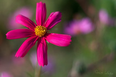 _DSC0259-Modifier.jpg (xpressx) Tags: bokeh 50mm nikon flowers passionphotonikon fleurs nd4 18 parc photographe lightroom nikond5000 nd8 nikkor flore d5000