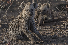 s AT Hyena pups_DSC_9770 (Andrew JK Tan) Tags: 2016 safari botswana mashatu hyena wildlife nature