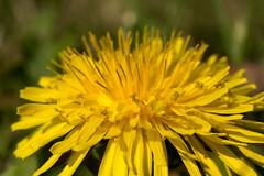 Lwenzahn - Dandelion (riesebusch) Tags: berlin garten marzahn