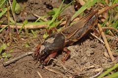Gryllotalpa gryllotalpa (jp vacher) Tags: gryllotalpa european mole cricket courtilire gryllotalpidae orthoptera europische maulwurfsgrille