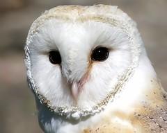 Barn Owl Stare (Doyleecart Photography) Tags: barnowl birdofprey stare canon7dmkii doyleecart wells somerset mendip westcountry england uk europe