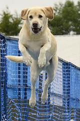 Just like that ( Freddie) Tags: kent detling kentcountyshowground pawsinthepark dashnsplash dog labrador