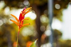Helicônia Papagaio (Elder Albuquerque) Tags: flores tropicais flowers elder fotografia albuquerque parque da jaqueira recife pernambuco a cara do brasil profundidade de campo