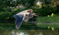 The Great Blue (Chizuka2010) Tags: heron hron greatblue greatblueheron grandhron bird birdphotography luciegagnon bokeh bokehwednesday hbw