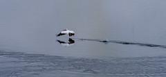 Upward Bound (smfmi) Tags: whitingoverlookpark pelican americanwhitepelican bird waterfowl fowl michigan midlandcounty frohm pentax ks2 pentaxks2 justpentax pentaxlife
