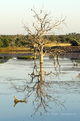 Dying Reflection (Craig Pitchers) Tags: f28 gamepark madikwe 70200mm gamereservenikond7000nikon d7000south africaafricabushveldnikon