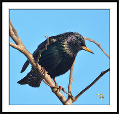 European Starling (vidterry) Tags: iso800 starling europeanstarling photomix nikkor80400mmvr wbauto ev23 550mm kenko15xteleconverter naturesharmony photographyforrecreation nikond7100 rememberthatmomentlevel1 bestevergoldenartists 11000thf8 vigilantphotographersunite vpu2 multipointaf vpu3