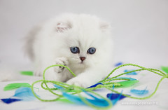 Les Persans de Fannie (Les Persans De Fannie) Tags: cats pets cat persian chats kitten chat couleurs chinchilla animaux fannie plumes chaton chatons persan