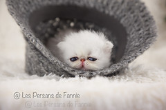 Les Persans de Fannie (Les Persans De Fannie) Tags: cats pets cat persian chats kitten chat chinchilla chapeau animaux fannie chaton laine chatons persan timide