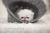 Les Persans de Fannie (Les Persans De Fannie) Tags: cats pets cat persian chats kitten chat chinchilla chapeau animaux fannie chaton laine chatons persan timide