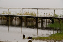 rain on the Jetty (loobyloo55) Tags: wet water rain grey duck jetty australia centralcoast longjetty