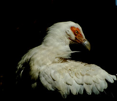 """Palm Nut Vulture"" (Mrs Nilacop) Tags: me2youphotographylevel1 dreamlikephotos"