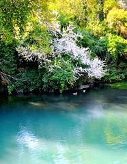 VEGETAZIONE INFIORATA SU RIVA sn del SILE (aldofurlanetto) Tags: riflessi rive sile fioritura