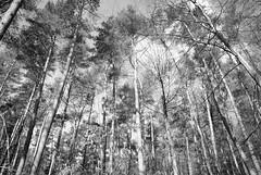 Les pins en noir et blanc (geofana) Tags: blackandwhite bw forest nikon pin belgique noiretblanc bruxelles fort fortdesoignes d80