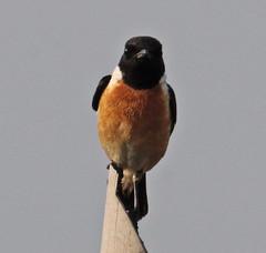 Th13_05300a (jerryoldenettel) Tags: bird thailand passeriformes commonstonechat saxicola stonechat passerine saxicolatorquatus 2013 muscicapidae bangtaboon bangtaboonmarshes