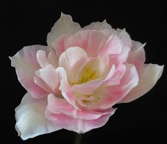 Angelique Tulip (Lissyanne (fighting pain daily)) Tags: flower macro nature closeup garden petals blossom tulip pinkandwhite doubletulip angeliquetulip whiteflowerfarm awesomeblossoms unforgettableflowers