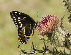Palamedes Swallowtail on thistle 4 (Cliff_Collings) Tags: flower macro nature closeup canon butterfly insect wildlife thistle alabama lepidoptera bloom flowering wildflower swallowtail 70200mm 550d palamedes t2i blakeleyfw