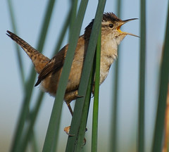 Marsh Wren (Regina_B_1) Tags: nature birds wildlife wrens marshwren ruby5