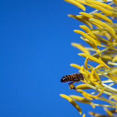 In Death Life Abounds (Laveen Photography (aka cyclist451)) Tags: arizona az phoenix backyard agave flower bee honeybee pollen yellow death dying life