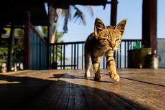 Cats aren't jumping anymore (Woods | Damien) Tags: voyage travel closeup cat walking asia burma myanmar inlelake asie jumpingcatmonastery birmanie sigma1850f28exdcmacro canoneos60d