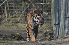 TIGRE (5) (hube.marc) Tags: tiger tigres tigre nikon sigma 300mm rimung  tiiger    pantheratigris plng     tygrys tigar harimau tigro tijger tirxu   tigris llat