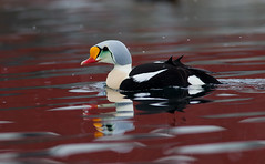 King Eider (adult male)