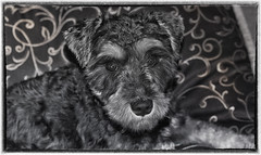 Baby Faced Schnauzer (jta1950) Tags: portrait bw dog chien pet pets cute dogs animal adorable canine schnauzer miniatureschnauzer dogportrait 11monthold framrd