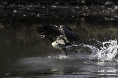 The running takeoff (begineerphotos) Tags: calgary bird water canon goose alberta canadagoose inglewoodbirdsanctuary