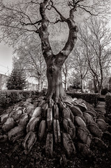 The Hardy Tree (Scott Baldock Photography) Tags: old portrait tree london church grave st sepia mono nikon thomas headstones fisheye ashtree tombstones 8mm pancras hardy d700 scottbaldockphotography