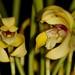 Maxillaria porphyrostele – Merle Robboy
