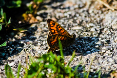 Butterfly (A.saraflorence) Tags: life city light italy orange black color macro green art nature colors beautiful animal canon garden photography photo spring europe artist day photos dream soul passion instant botanic marche spr