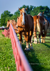 Texas Palominos (dfikar) Tags: light wild portrait horse brown sunlight color nature field grass animal animals rural fence pose one spring day texas view unitedstates adult outdoor head farm meadow pony pasture blond blonde ennis staring stallion equine mane palomino