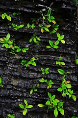 Rock plant (MelindaChan ^..^) Tags: china plant green nature lines rock pattern guilin mel melinda guangxi 桂林 廣西 chanmelmel melindachan 相公山
