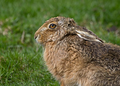 Brown Hare (Nathaniel Dargue) Tags: hare yorkshire brownhare