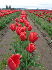 Skagit Valley, Washington - USA. (pbeppler) Tags:
