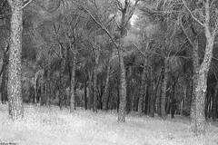 Para perderse... (Sonia Montes) Tags: naturaleza white black flores byn blancoynegro forest canon paisaje bosque margaritas soniamontes