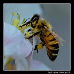 Tireless (cienne45) Tags: italy macro nature insect cienne45 carlonatale bee ape natale soe