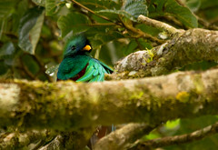 untitled-8480 (stoupaduck) Tags: costarica monteverde quetzal
