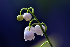 May day !!  Lily of the valley, May flower, May bells, Lily Constancy, Muguet (natureloving) Tags: macro nature nikon mayday muguet mayflower lilyofthevalley maybells d90 afsvrmicronikkor105mmf28gifed natureloving flowersinfrance lilyconstancy flowersineurope fleursenfrance