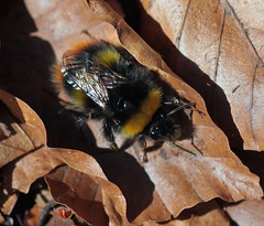 Early Bumblebee (I think!) (Red_Bloduewedd) Tags: macro animal closeup canon insect fuzzy stripes sigma bee bumblebee bumble canoneos invertebrate bombus pollinator scottishwildlife earlybumblebee