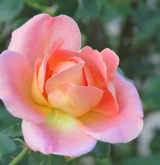 One Last Rose (Nancy Hastings5) Tags: pink roses rose for everyone mixedflowers photosandcalendar flowersarebeautiful floraandfaunaoftheworld excellentsflowers mimamorflowers flickrflorescloseupmacros panoramafotogrfico panoramafotografico thebestofmimamorsgroups flickrsportal rosesforeveryone magicmomentsinyourlife magicmomentsinyourlifelevel2 magicmomentsinyourlifelevel1 flowerthequietbeauty onlythebestofflickr