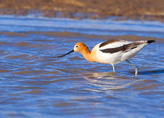 American Avocet (Aspenbreeze) Tags: lake bird water rural reflections wildlife migration americanavocet avocet wildbird aspenbreeze moonandbackphotography rememberthatmomentlevel4 rememberthatmomentlevel1 rememberthatmomentlevel2 rememberthatmomentlevel3 bestevergoldenartists rememberthatmomentlevel5 creativephotocafe bevzuerlein