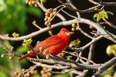 Summer Tanager (Judd Patterson) Tags: florida migration drytortugasnationalpark