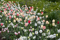 spring (dive-angel (Karin)) Tags: germany deutschland spring tulips beet koblenz frhling tulpen 2470mm eos5dmarkii
