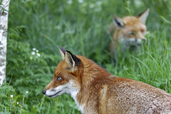 Foxes (chubbster) Tags: wildlife centre may surrey richard british bwc newchapel huckle 2013 chubbster