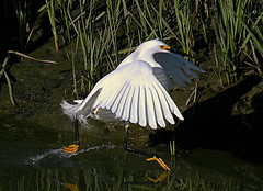 Leaping up the creek (TJ Gehling) Tags: bird egret snowyegret ardeidae egrettathula egretta baxtercreek richmondca richmondshoreline