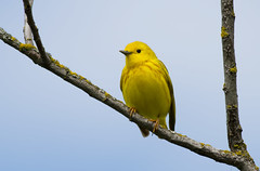 Yellow Warbler (Setophaga petechia) (juvethski) Tags: beautiful yellow vancouver canon eos colorful pretty vibrant awesome rich columbia richmond best well 7d british f56 ef groomed warbler 400mm petechia setophaga