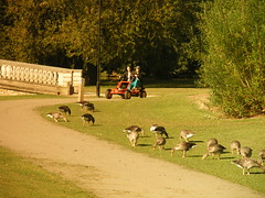 HAVING FUN AT EAST PARK IN HULL U.K. (zxbill55) Tags: park city blue trees sky plants tree grass golden geese shadows sunny kingston shade hull pedelcar