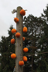 Pumpkins 5270 (StrangeCharmDesign) Tags: autumn fall halloween nature pumpkin vines farm pumpkins vine pumpkinpatch snohomish swanstrail