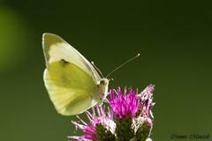 Pieris brassicae (Corinne Mnardi) Tags: papillon diurne insecte macro lpidoptre pieridae